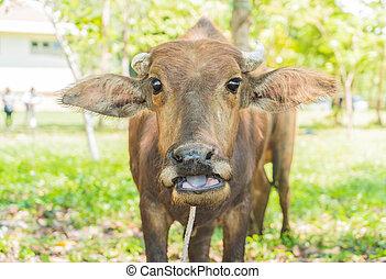 capim, búfalo