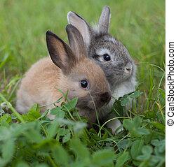 capim, coelhos