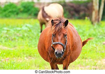 capim, comer, fazenda, verde, cavalos