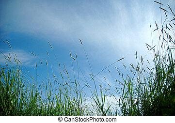 capim, em, luz sol, e, céu, experiência