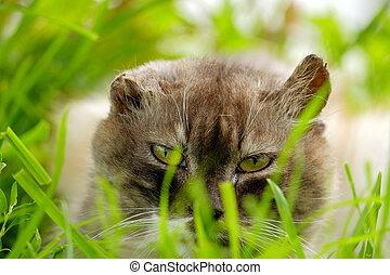 capim, gato