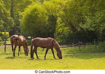 capim, marrom, comer, campo, cavalos