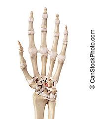 capitohamate, ligament