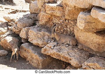 Capra ibex nubiana
