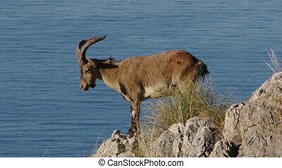 Capra pyrenaica male sunbathing on the rocks of the cliff...