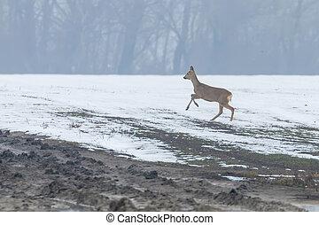 capreolus), (capreolus, hiver, cerf, chevreuil, matin