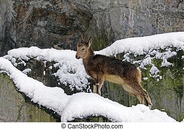 capricórnio, (capra, ibex)