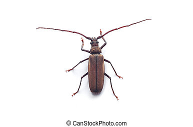 capricorn beetle isolated on white