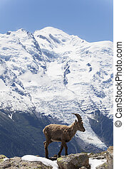 capricorn in the french alps