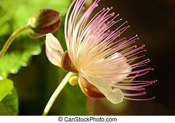 capriool, bloeiende bloem, macro, grit