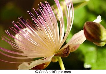 capriool, bloeiende bloem, micro, grit