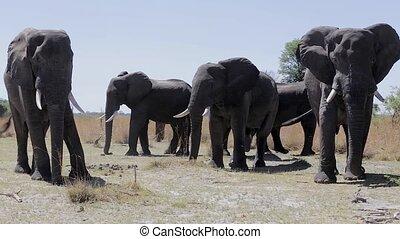 caprivi, africaine, jeu, parc, éléphant