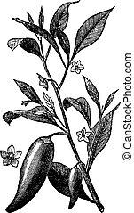 (capsicum, gravure, mississippi, peper, ouderwetse , ...