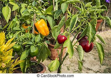 Capsicum plant - Capsicum on the plant of different colors ...