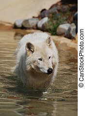 captivating White wolf on a beach in the summer