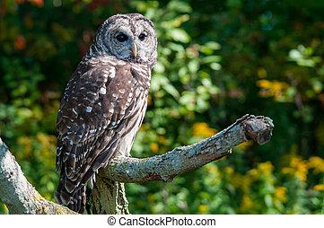 Barred Owl - Captive Barred Owl.