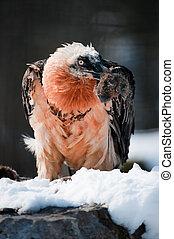 bearded vulture (lat. Gypaetus barbatus) - captive bearded ...