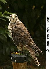 Captive bird - A captive bird of prey against a dark ...