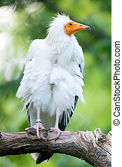 Egyptian Vulture - Captive Egyptian Vulture (lat. Neophron ...