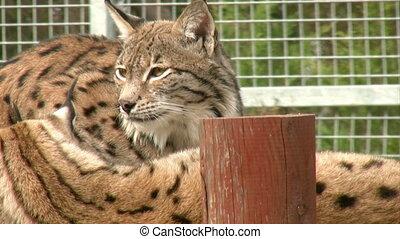 Captive  lynx family behind fence.
