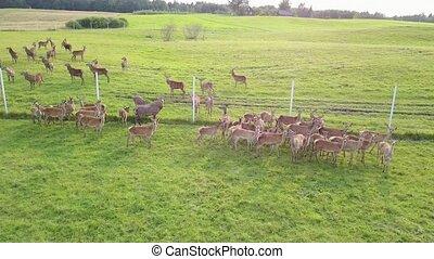 captivity., aérien, sommet, deers, enquête, pâturage, vue