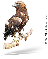 captured Hawk eagle on a wooden bark isolated over white