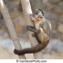 capuchin, árvore, macaco