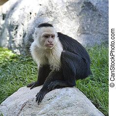 capuchin aap, white-throated