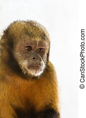 capuchin, golden-bellied