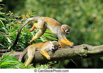 capuchin, macacos