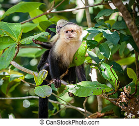 Capuchin monkey mother with baby
