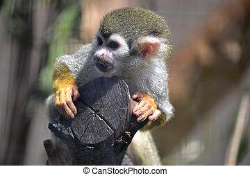 Capuchin monkey sitting on a tree