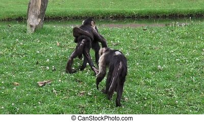 Capuchin Monkeys, Primates, Zoo Animals, Wildlife, Nature
