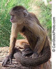 capuchin, weeper