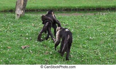 capucin, singes, primates