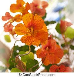 capucine, fleurs