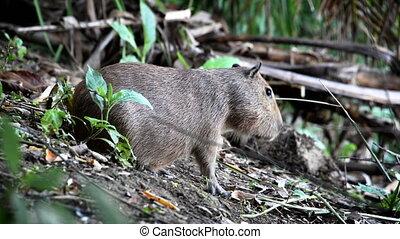 Capybara Closeup