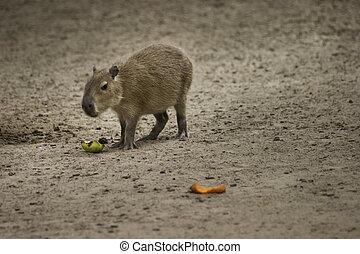 capybara, comida, fruits