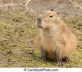 Capybara cub sitting