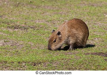 Capybara cub