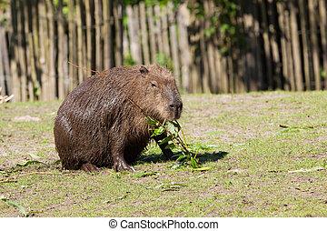 Capybara foraging