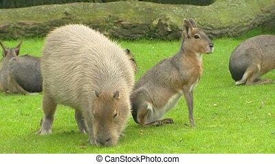 Capybara (Hydrochoeris hydrochaeris) in field with Patagonian mara