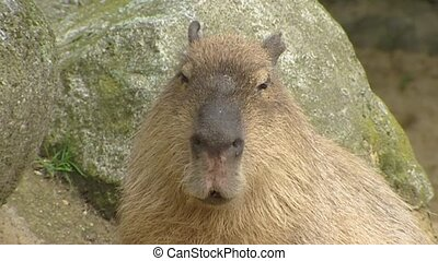 Capybara (Hydrochoeris hydrochaeris) sits moving ears - close up on camera