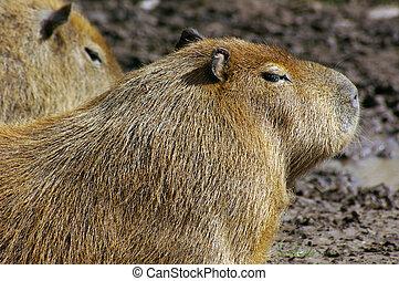 capybara, (hydrochoerus, hydrochaeris), 02