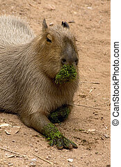 Capybara or better known as a giant rat. Just having fed on ...