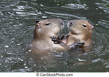 Capybaras playing in the water