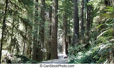 Car driving through a giant redwood forest in the Jedediah Smith Redwoods State Park