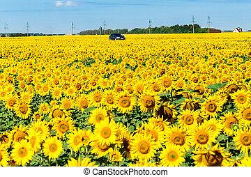 car, florescer, campo girassol