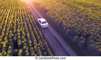 Car rides on a dirt road among blooming sunflowers at sunset