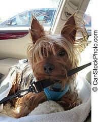 Car Seated Yorkie - An photo of a car seated yorkie dog.